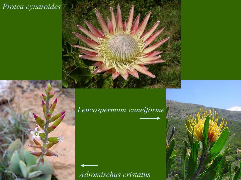 Protea cynaroides Adromischus cristatus Leucospermum cuneiforme