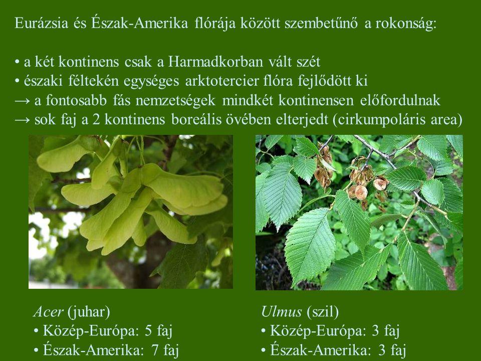 Eurázsia és Észak-Amerika flórája között szembetűnő a rokonság: a két kontinens csak a Harmadkorban vált szét északi féltekén egységes arktotercier flóra fejlődött ki → a fontosabb fás nemzetségek mindkét kontinensen előfordulnak → sok faj a 2 kontinens boreális övében elterjedt (cirkumpoláris area) Ulmus (szil) Közép-Európa: 3 faj Észak-Amerika: 3 faj Acer (juhar) Közép-Európa: 5 faj Észak-Amerika: 7 faj