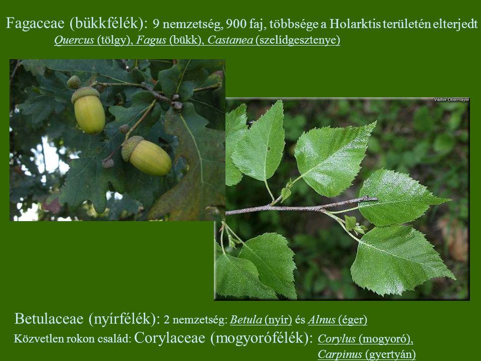 Fagaceae (bükkfélék): 9 nemzetség, 900 faj, többsége a Holarktis területén elterjedt Quercus (tölgy), Fagus (bükk), Castanea (szelídgesztenye) Betulac
