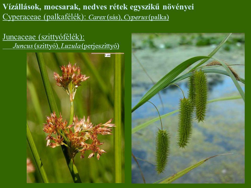 Vízállások, mocsarak, nedves rétek egyszikű növényei Cyperaceae (palkafélék): Carex (sás), Cyperus (palka) Juncaceae (szittyófélék): Juncus (szittyó),