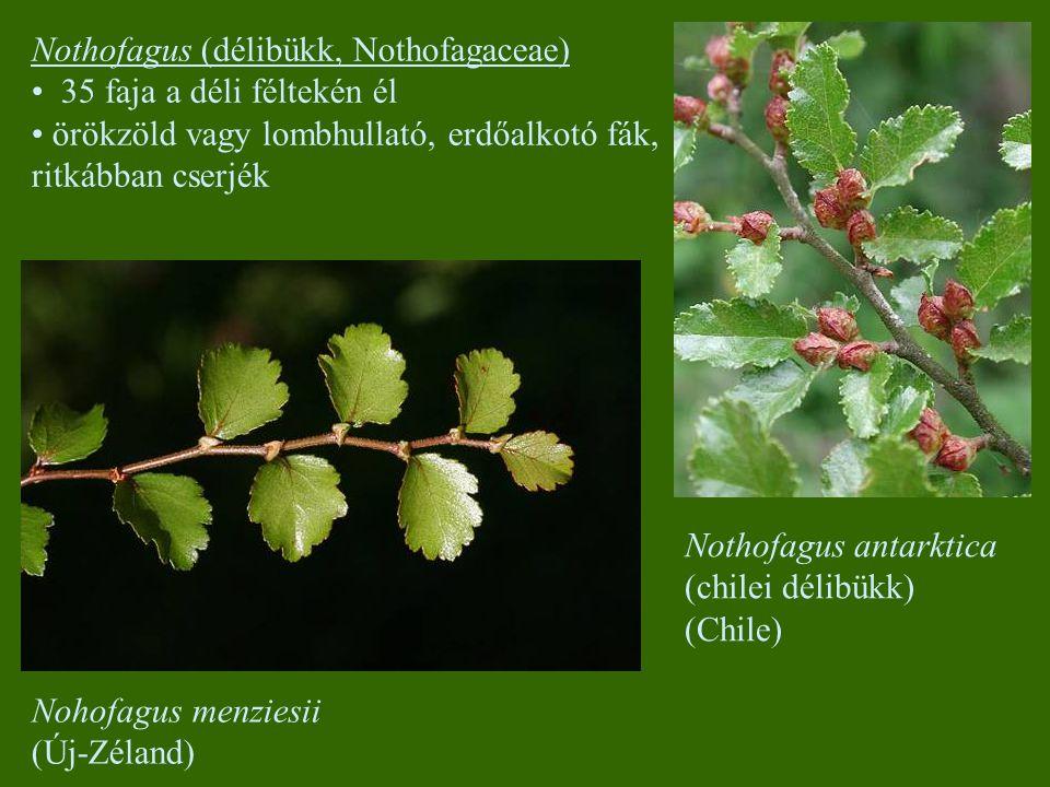 Nothofagus antarktica (chilei délibükk) (Chile) Nohofagus menziesii (Új-Zéland) Nothofagus (délibükk, Nothofagaceae) 35 faja a déli féltekén él örökzöld vagy lombhullató, erdőalkotó fák, ritkábban cserjék