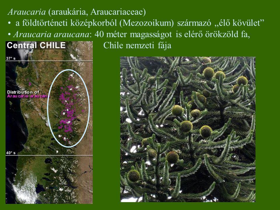 """Araucaria (araukária, Araucariaceae) a földtörténeti középkorból (Mezozoikum) származó """"élő kövület Araucaria araucana: 40 méter magasságot is elérő örökzöld fa, Chile nemzeti fája"""