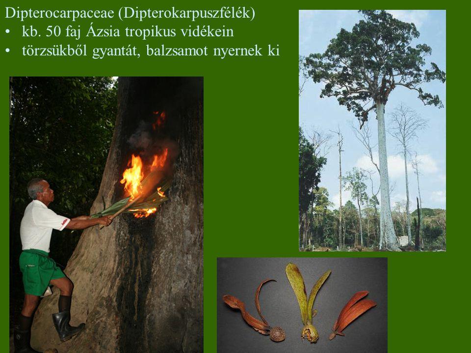 Dipterocarpaceae (Dipterokarpuszfélék) kb. 50 faj Ázsia tropikus vidékein törzsükből gyantát, balzsamot nyernek ki