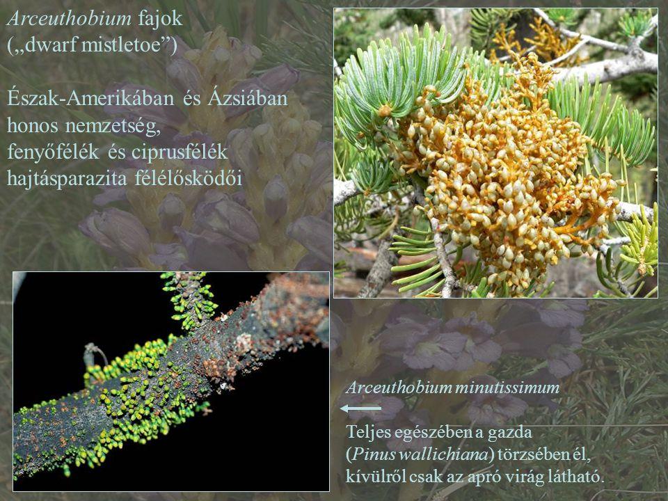 """Arceuthobium fajok (""""dwarf mistletoe ) Észak-Amerikában és Ázsiában honos nemzetség, fenyőfélék és ciprusfélék hajtásparazita félélősködői Arceuthobium minutissimum Teljes egészében a gazda (Pinus wallichiana) törzsében él, kívülről csak az apró virág látható."""