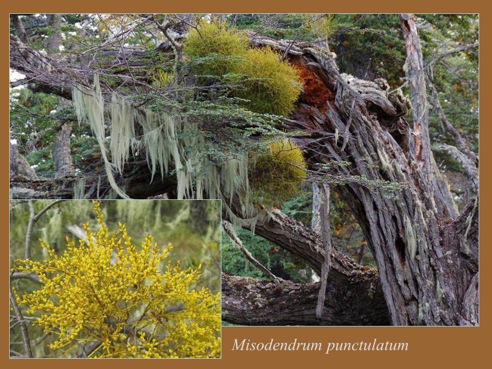 Misodendrum punctulatum