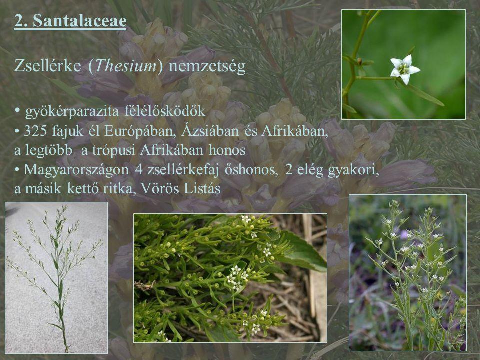 2. Santalaceae Zsellérke (Thesium) nemzetség gyökérparazita félélősködők 325 fajuk él Európában, Ázsiában és Afrikában, a legtöbb a trópusi Afrikában