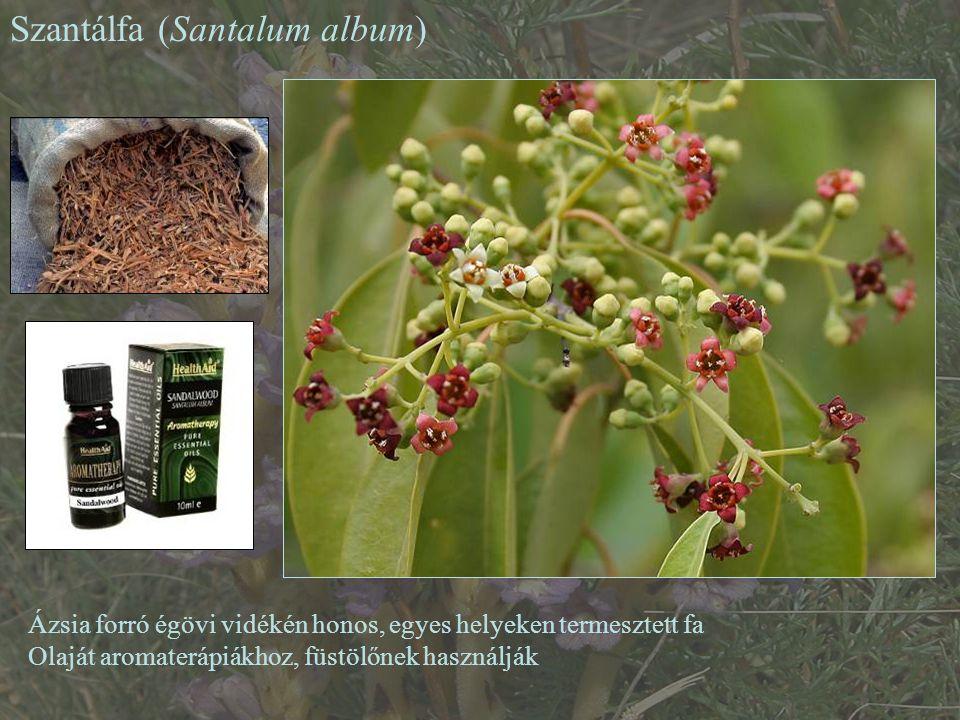Szantálfa (Santalum album) Ázsia forró égövi vidékén honos, egyes helyeken termesztett fa Olaját aromaterápiákhoz, füstölőnek használják
