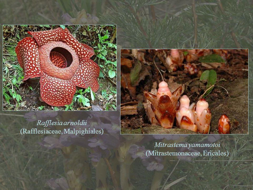 Rafflesia arnoldii (Rafflesiaceae, Malpighiales) Mitrastema yamamotoi (Mitrastemonaceae, Ericales)