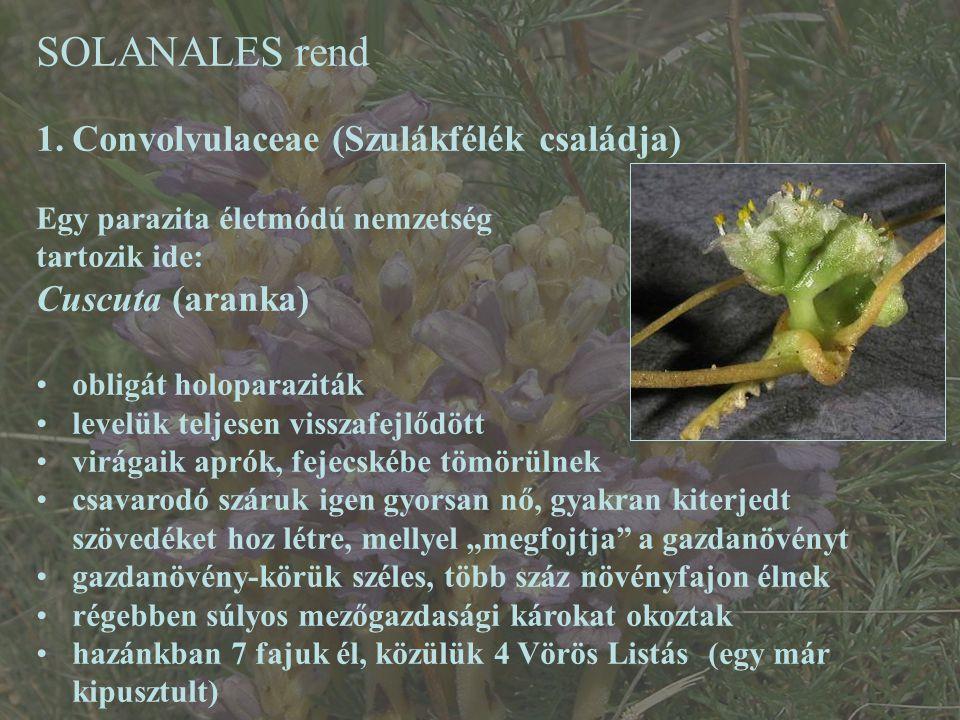 SOLANALES rend 1.Convolvulaceae (Szulákfélék családja) Egy parazita életmódú nemzetség tartozik ide: Cuscuta (aranka) obligát holoparaziták levelük te