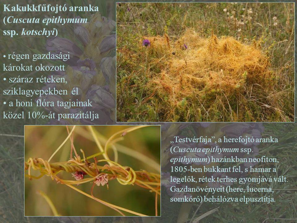 Kakukkfűfojtó aranka (Cuscuta epithymum ssp. kotschyi) régen gazdasági károkat okozott száraz réteken, sziklagyepekben él a honi flóra tagjainak közel