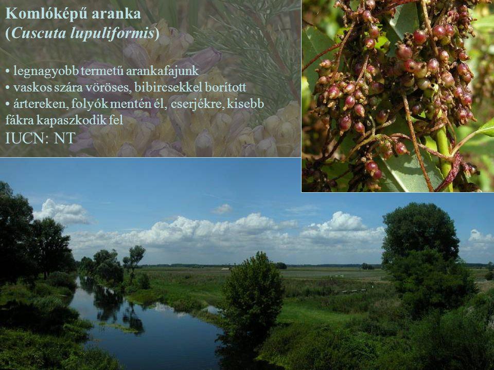 Komlóképű aranka (Cuscuta lupuliformis) legnagyobb termetű arankafajunk vaskos szára vöröses, bibircsekkel borított ártereken, folyók mentén él, cserj