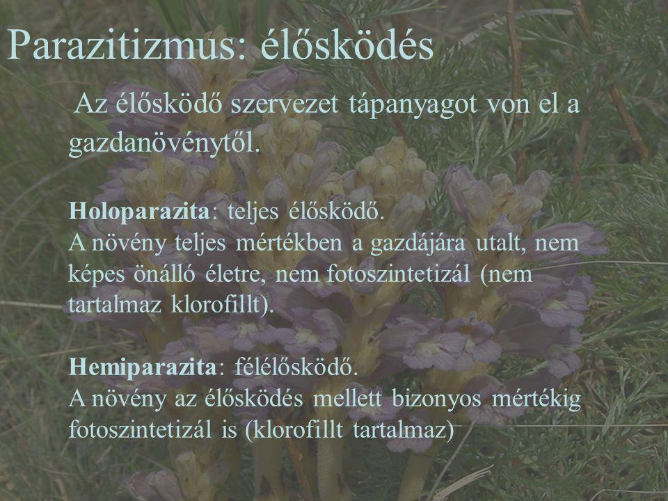 Parazitizmus: élősködés Az élősködő szervezet tápanyagot von el a gazdanövénytől. Holoparazita: teljes élősködő. A növény teljes mértékben a gazdájára