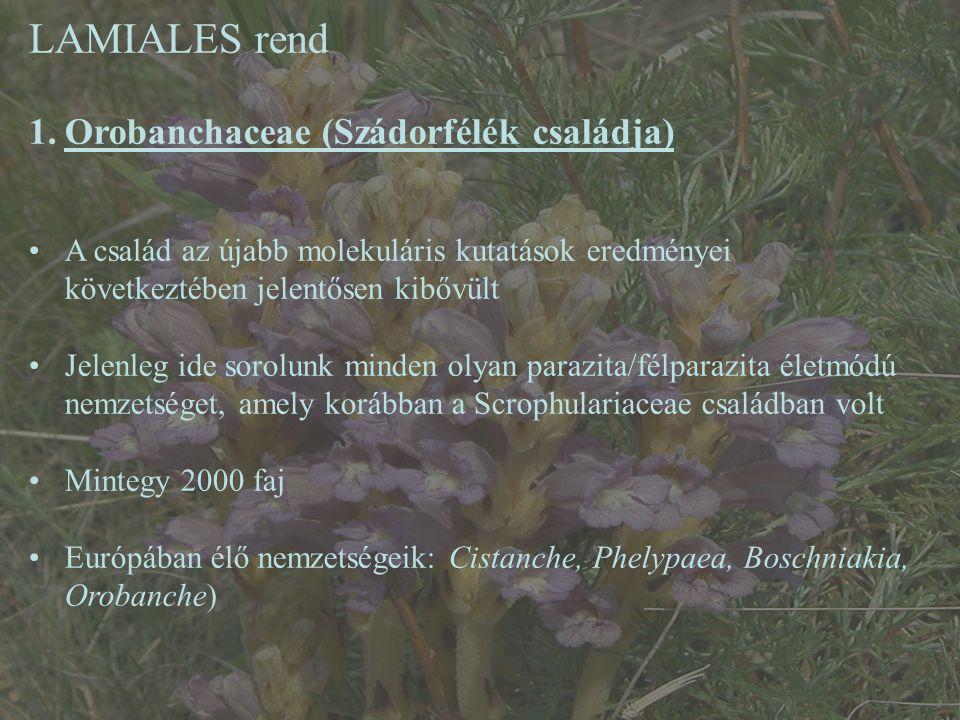 LAMIALES rend 1.Orobanchaceae (Szádorfélék családja) A család az újabb molekuláris kutatások eredményei következtében jelentősen kibővült Jelenleg ide sorolunk minden olyan parazita/félparazita életmódú nemzetséget, amely korábban a Scrophulariaceae családban volt Mintegy 2000 faj Európában élő nemzetségeik: Cistanche, Phelypaea, Boschniakia, Orobanche)