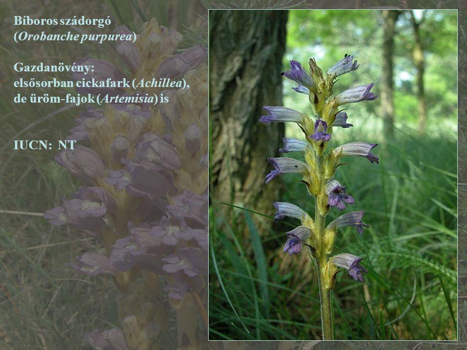 Bíboros szádorgó (Orobanche purpurea) Gazdanövény: elsősorban cickafark (Achillea), de üröm-fajok (Artemisia) is IUCN: NT