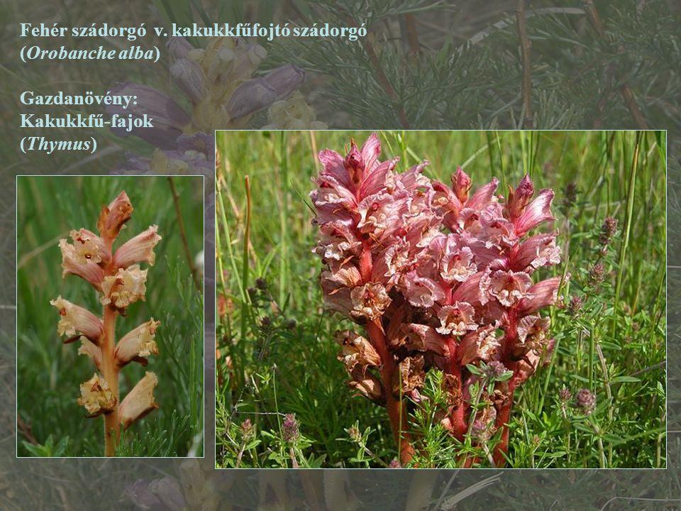Fehér szádorgó v. kakukkfűfojtó szádorgó (Orobanche alba) Gazdanövény: Kakukkfű-fajok (Thymus)