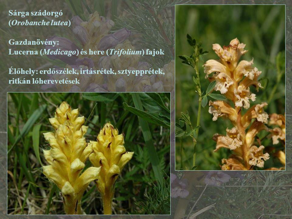 Sárga szádorgó (Orobanche lutea) Gazdanövény: Lucerna (Medicago) és here (Trifolium) fajok Élőhely: erdőszélek, irtásrétek, sztyepprétek, ritkán lóher
