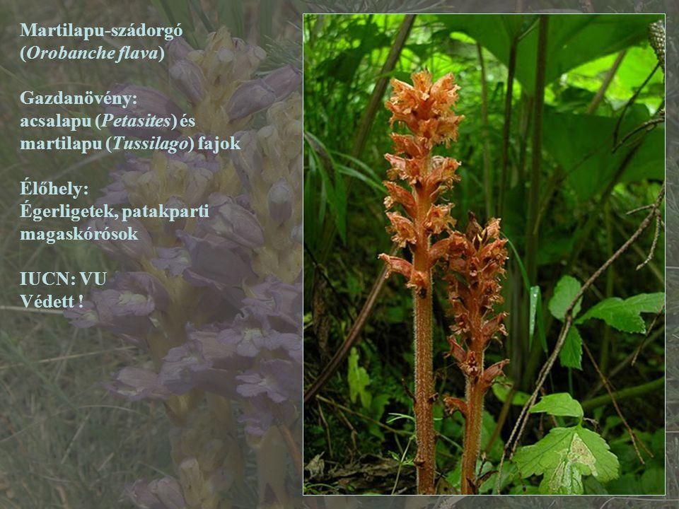Martilapu-szádorgó (Orobanche flava) Gazdanövény: acsalapu (Petasites) és martilapu (Tussilago) fajok Élőhely: Égerligetek, patakparti magaskórósok IU