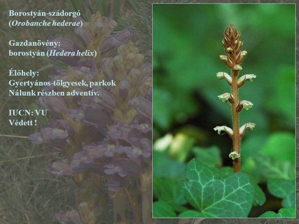 Borostyán-szádorgó (Orobanche hederae) Gazdanövény: borostyán (Hedera helix) Élőhely: Gyertyános-tölgyesek, parkok Nálunk részben adventív. IUCN: VU V