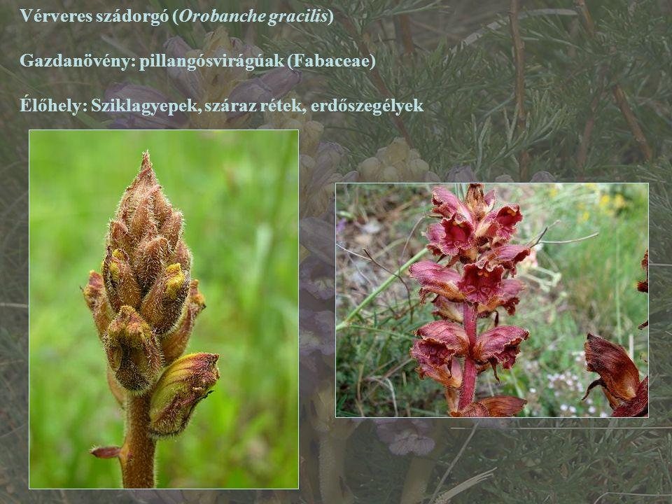 Vérveres szádorgó (Orobanche gracilis) Gazdanövény: pillangósvirágúak (Fabaceae) Élőhely: Sziklagyepek, száraz rétek, erdőszegélyek