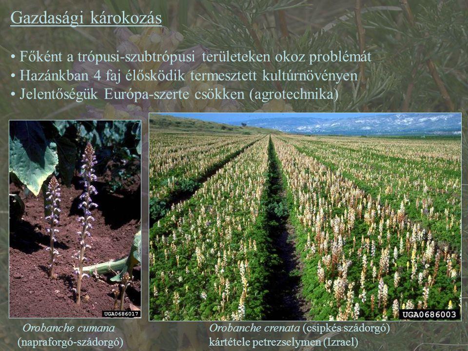 Gazdasági károkozás Főként a trópusi-szubtrópusi területeken okoz problémát Hazánkban 4 faj élősködik termesztett kultúrnövényen Jelentőségük Európa-szerte csökken (agrotechnika) Orobanche crenata (csipkés szádorgó) kártétele petrezselymen (Izrael) Orobanche cumana (napraforgó-szádorgó)