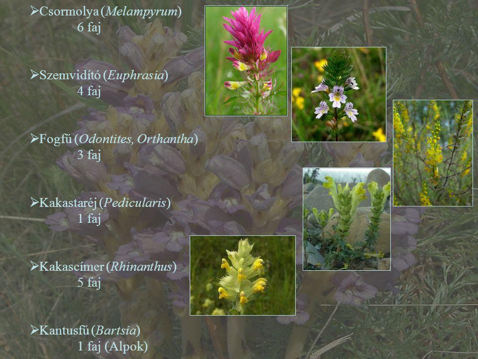  Csormolya (Melampyrum) 6 faj  Szemvidító (Euphrasia) 4 faj  Fogfű (Odontites, Orthantha) 3 faj  Kakastaréj (Pedicularis) 1 faj  Kakascímer (Rhin