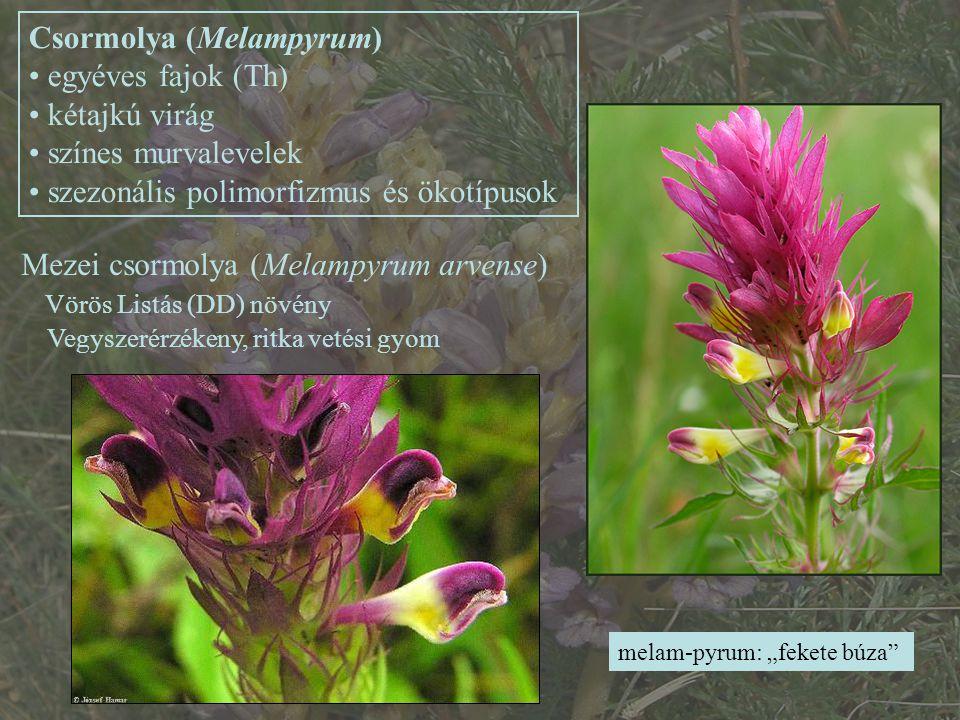 """Mezei csormolya (Melampyrum arvense) Vörös Listás (DD) növény Vegyszerérzékeny, ritka vetési gyom Csormolya (Melampyrum) egyéves fajok (Th) kétajkú virág színes murvalevelek szezonális polimorfizmus és ökotípusok melam-pyrum: """"fekete búza"""