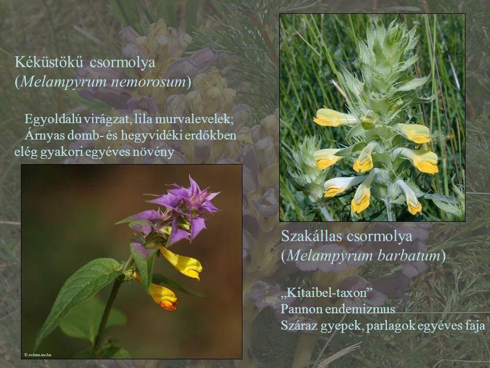 """Kéküstökű csormolya (Melampyrum nemorosum) Egyoldalú virágzat, lila murvalevelek; Árnyas domb- és hegyvidéki erdőkben elég gyakori egyéves növény Szakállas csormolya (Melampyrum barbatum) """"Kitaibel-taxon Pannon endemizmus Száraz gyepek, parlagok egyéves faja"""