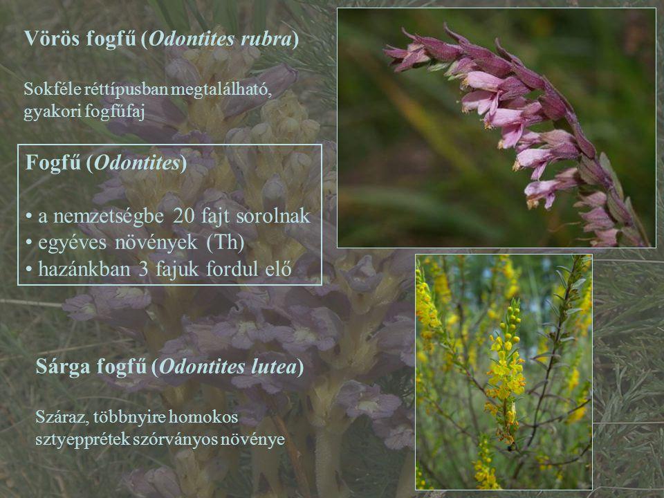 Fogfű (Odontites) a nemzetségbe 20 fajt sorolnak egyéves növények (Th) hazánkban 3 fajuk fordul elő Vörös fogfű (Odontites rubra) Sokféle réttípusban megtalálható, gyakori fogfűfaj Sárga fogfű (Odontites lutea) Száraz, többnyire homokos sztyepprétek szórványos növénye