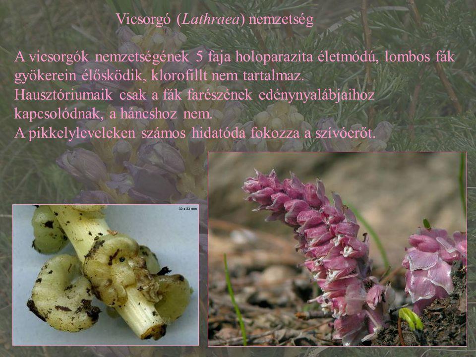 Vicsorgó (Lathraea) nemzetség A vicsorgók nemzetségének 5 faja holoparazita életmódú, lombos fák gyökerein élősködik, klorofillt nem tartalmaz. Hauszt
