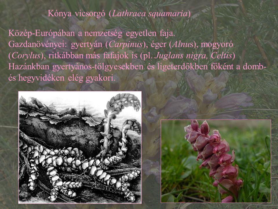 Kónya vicsorgó (Lathraea squamaria) Közép-Európában a nemzetség egyetlen faja. Gazdanövényei: gyertyán (Carpinus), éger (Alnus), mogyoró (Corylus), ri