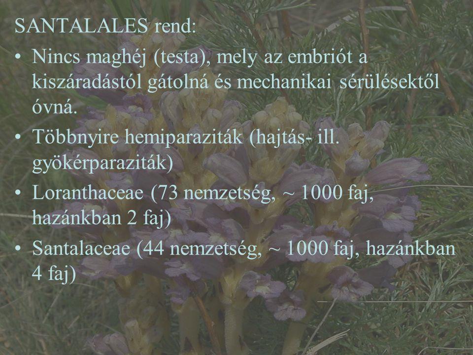 Kakukkfűfojtó aranka (Cuscuta epithymum ssp.