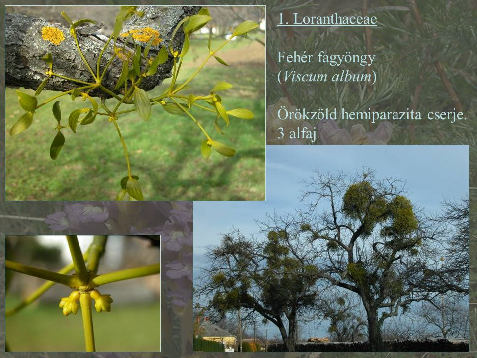 """Opálfehér színű, áttetsző álbogyója nagy viscin-tartalmú, ragadós Endozoochoria és ektozoochoria Madárlép, enyvbogyó, légyragasz """"fagyöngyevő rigó = Turdus viscivorus ssp."""