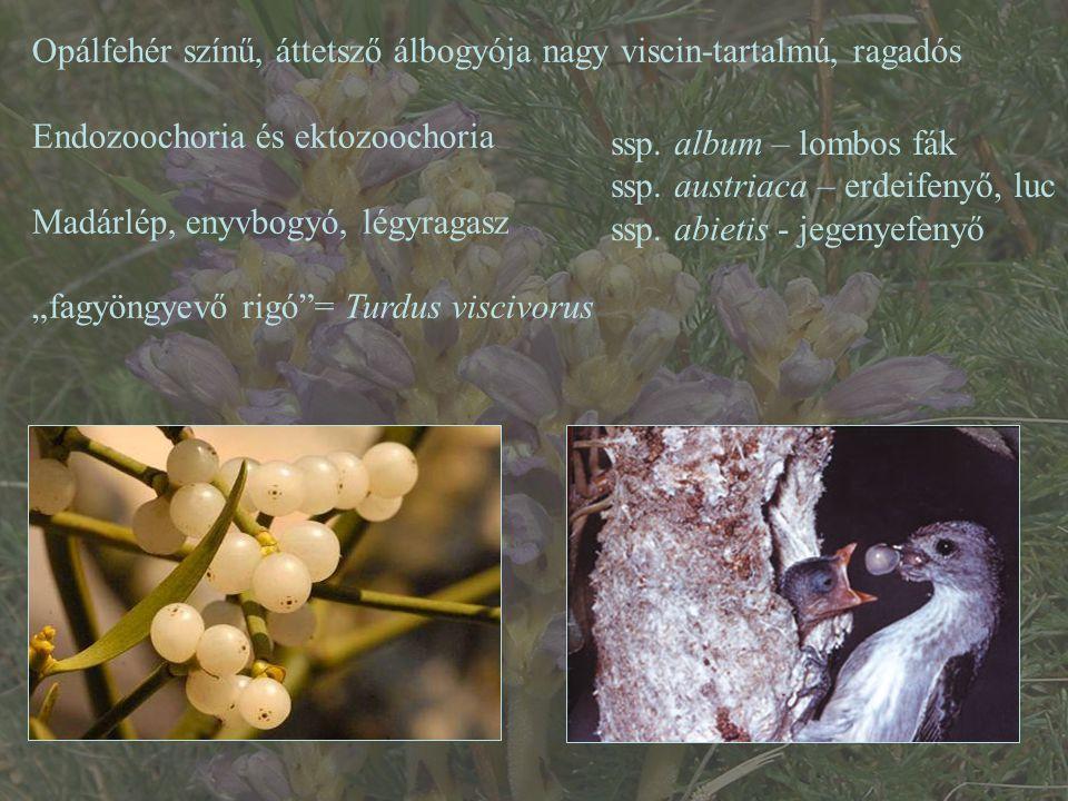 """Opálfehér színű, áttetsző álbogyója nagy viscin-tartalmú, ragadós Endozoochoria és ektozoochoria Madárlép, enyvbogyó, légyragasz """"fagyöngyevő rigó""""= T"""