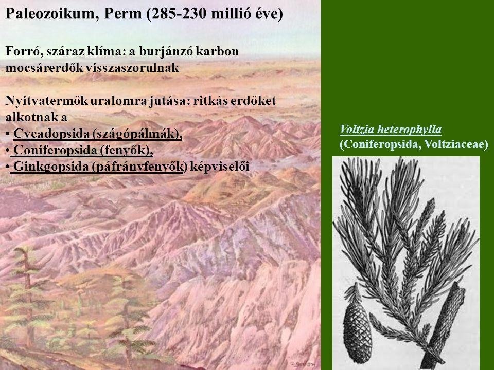 Paleozoikum, Perm (285-230 millió éve) Forró, száraz klíma: a burjánzó karbon mocsárerdők visszaszorulnak Nyitvatermők uralomra jutása: ritkás erdőket