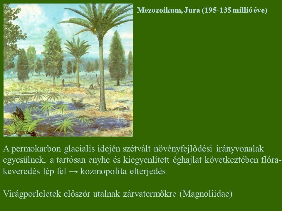 Mezozoikum, Jura (195-135 millió éve) A permokarbon glacialis idején szétvált növényfejlődési irányvonalak egyesülnek, a tartósan enyhe és kiegyenlíte