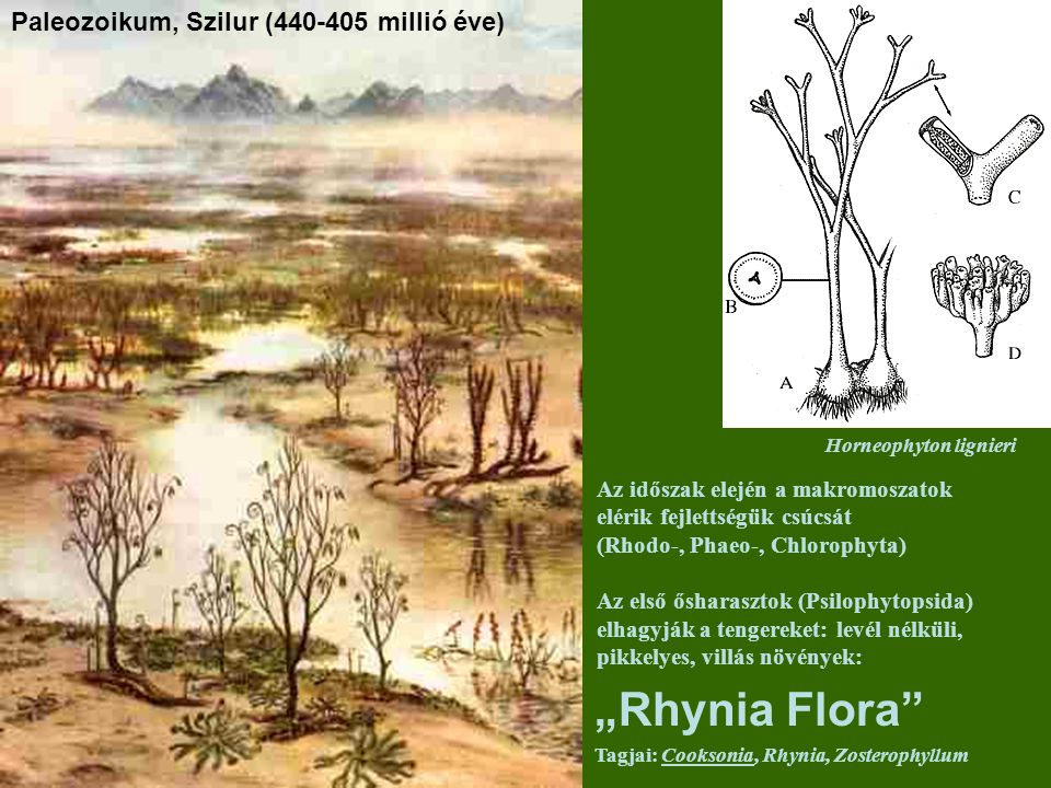 Paleozoikum, Szilur (440-405 millió éve) Az időszak elején a makromoszatok elérik fejlettségük csúcsát (Rhodo-, Phaeo-, Chlorophyta) Az első ősharaszt