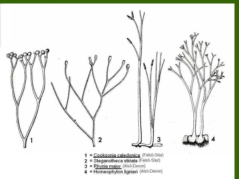Paleozoikum, Devon (405-350 millió éve) A szárazföldek benépesedésének nagy időszaka A meleg, forró éghajlaton elterjednek az ősharasztok, kialakulnak az első társulások Az időszak végén megjelenik a ma is élő 3 harasztcsoport (Pteridophyta): Lycopodiopsida / korpafüvek (pl.