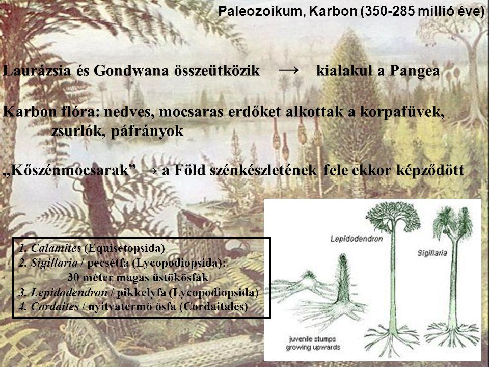 """Laurázsia és Gondwana összeütközik → kialakul a Pangea Karbon flóra: nedves, mocsaras erdőket alkottak a korpafüvek, zsurlók, páfrányok """"Kőszénmocsara"""