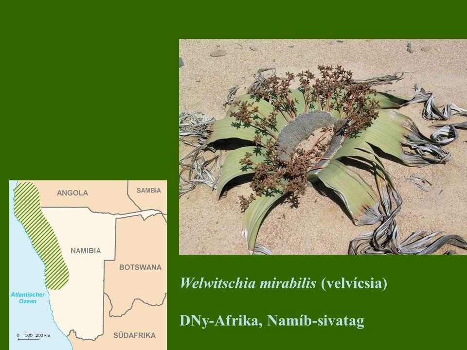 Welwitschia mirabilis (velvícsia) DNy-Afrika, Namíb-sivatag