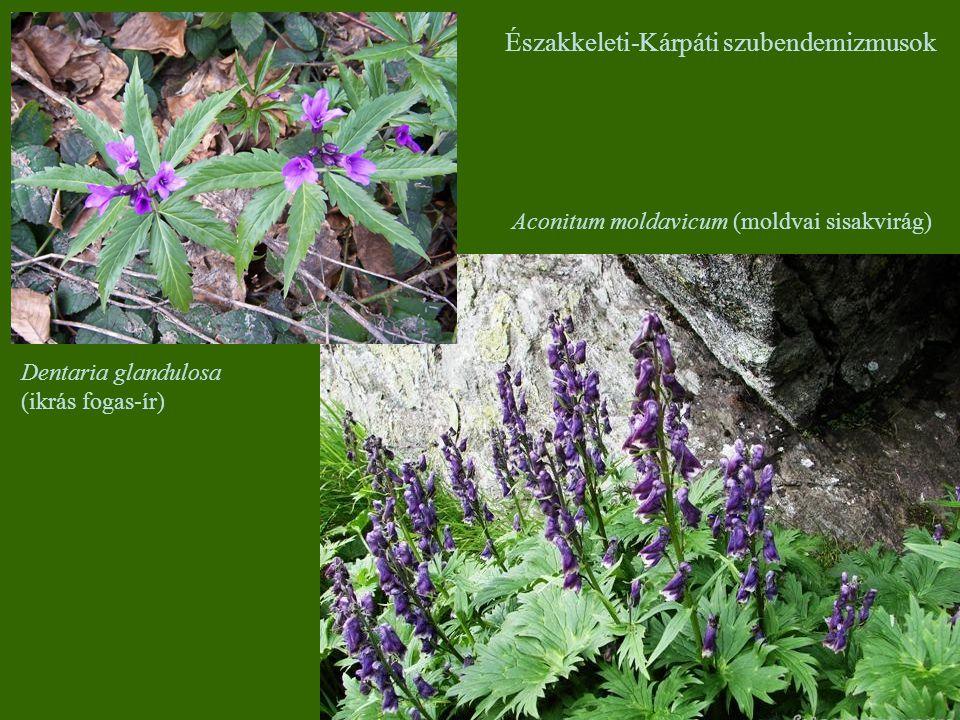 Aconitum moldavicum (moldvai sisakvirág) Északkeleti-Kárpáti szubendemizmusok Dentaria glandulosa (ikrás fogas-ír)