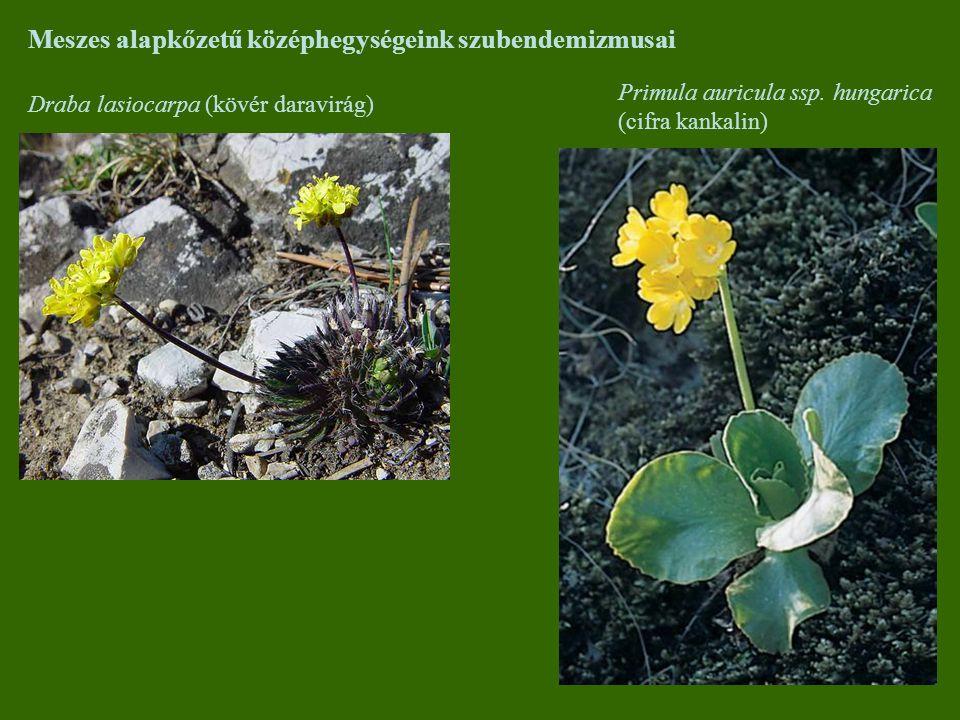 Meszes alapkőzetű középhegységeink szubendemizmusai Draba lasiocarpa (kövér daravirág) Primula auricula ssp. hungarica (cifra kankalin)