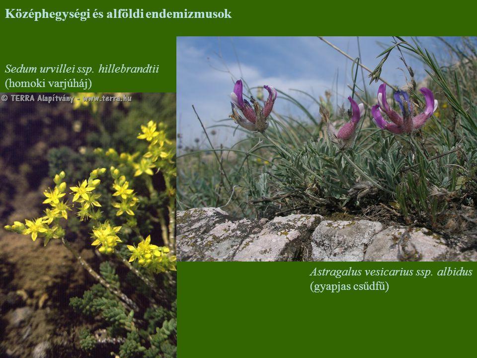 Astragalus vesicarius ssp. albidus (gyapjas csűdfű) Sedum urvillei ssp. hillebrandtii (homoki varjúháj) Középhegységi és alföldi endemizmusok