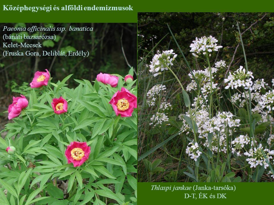 Paeonia officinalis ssp. banatica (bánáti bazsarózsa) Kelet-Mecsek (Fruska Gora, Deliblát, Erdély) Thlaspi jankae (Janka-tarsóka) D-T, ÉK és DK