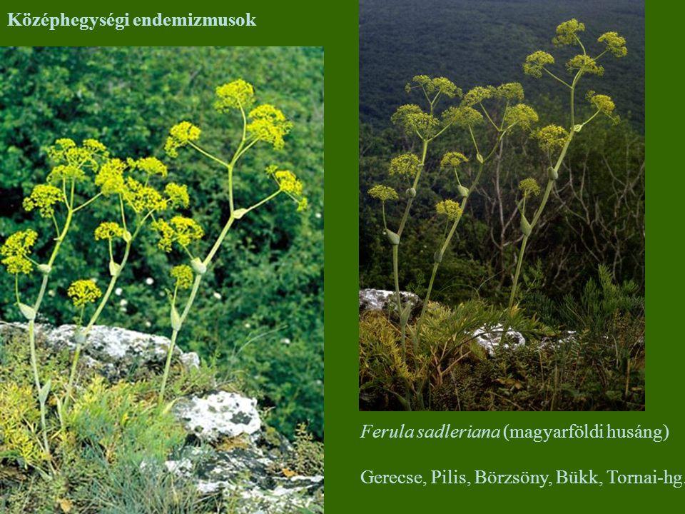Középhegységi endemizmusok Ferula sadleriana (magyarföldi husáng) Gerecse, Pilis, Börzsöny, Bükk, Tornai-hg.