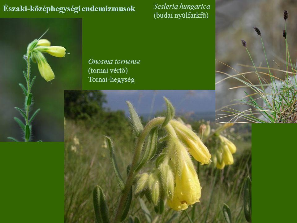 Északi-középhegységi endemizmusok Onosma tornense (tornai vértő) Tornai-hegység Sesleria hungarica (budai nyúlfarkfű)