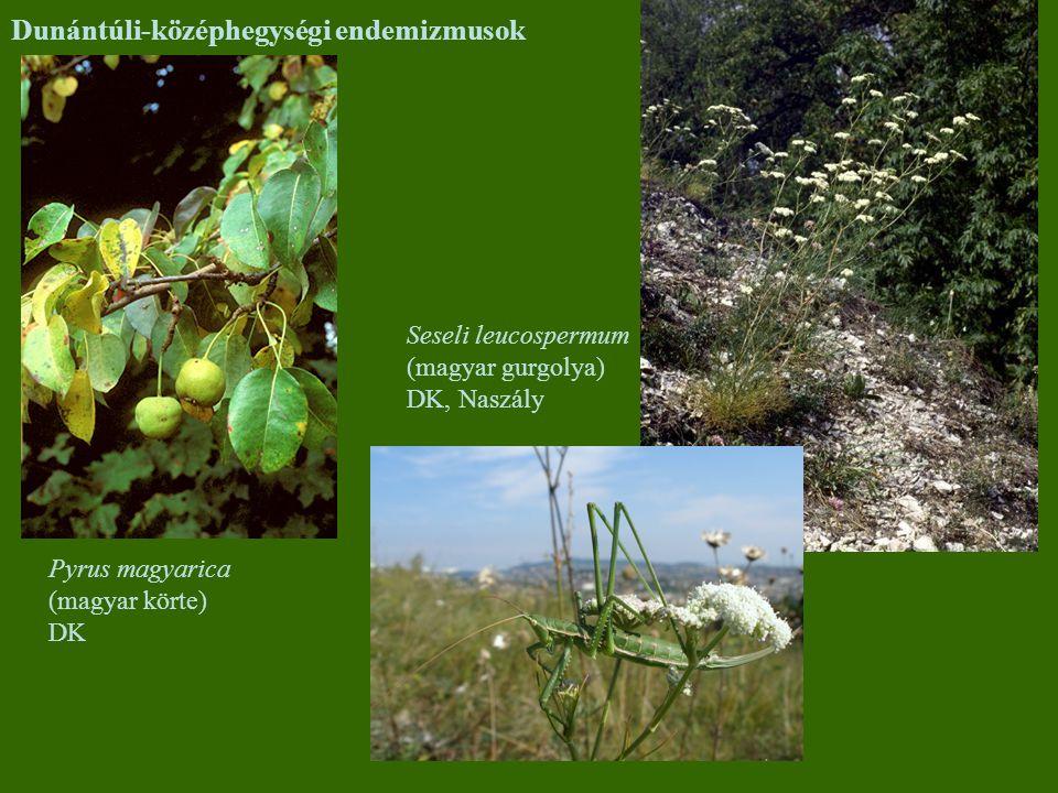 Dunántúli-középhegységi endemizmusok Pyrus magyarica (magyar körte) DK Seseli leucospermum (magyar gurgolya) DK, Naszály