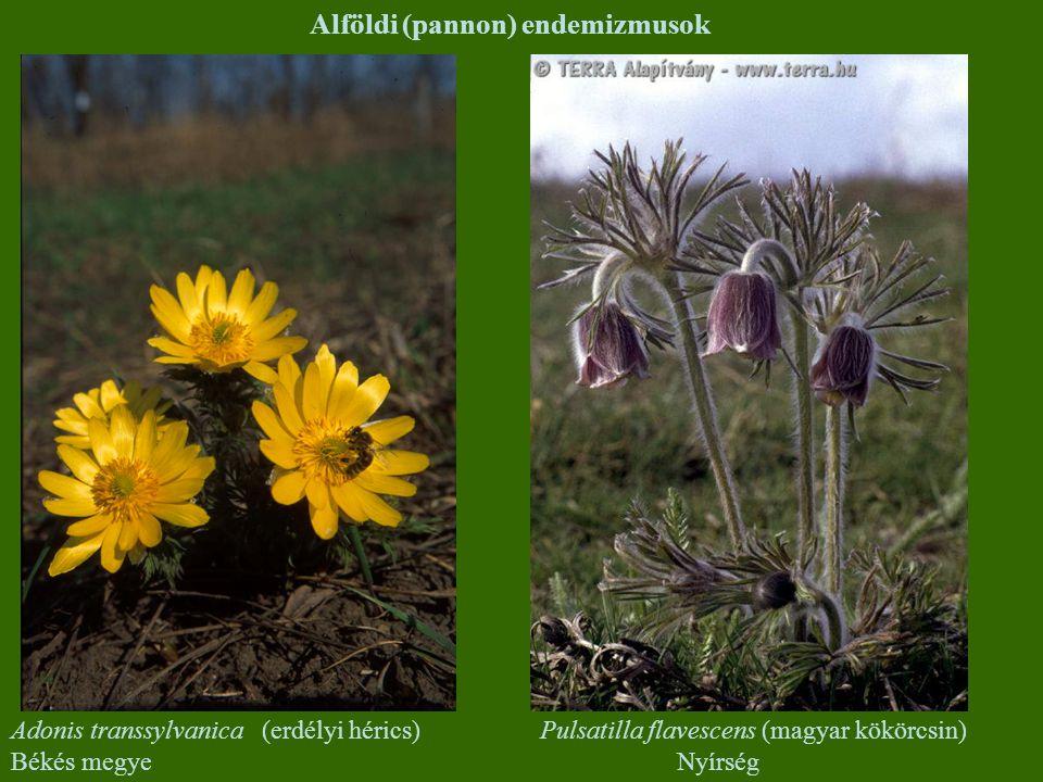Alföldi (pannon) endemizmusok Adonis transsylvanica (erdélyi hérics) Békés megye Pulsatilla flavescens (magyar kökörcsin) Nyírség
