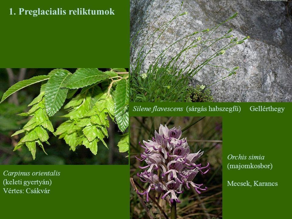 1. Preglacialis reliktumok Silene flavescens (sárgás habszegfű)Gellérthegy Carpinus orientalis (keleti gyertyán) Vértes: Csákvár Orchis simia (majomko