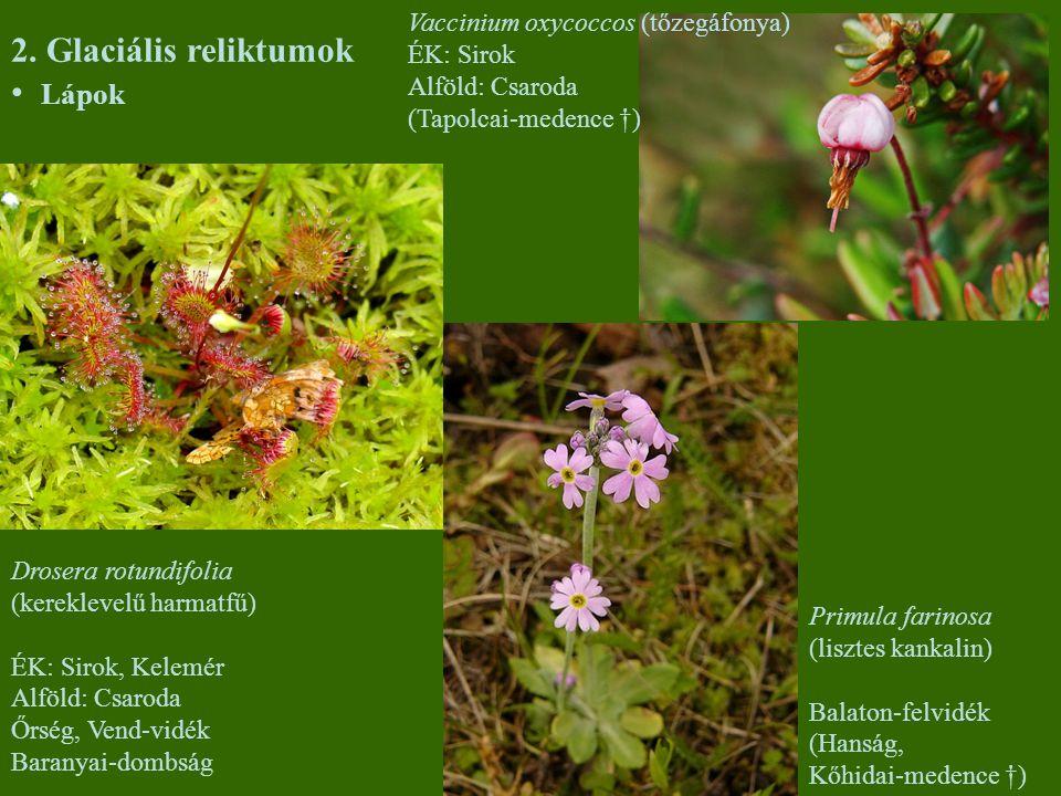 2. Glaciális reliktumok Lápok Drosera rotundifolia (kereklevelű harmatfű) ÉK: Sirok, Kelemér Alföld: Csaroda Őrség, Vend-vidék Baranyai-dombság Primul