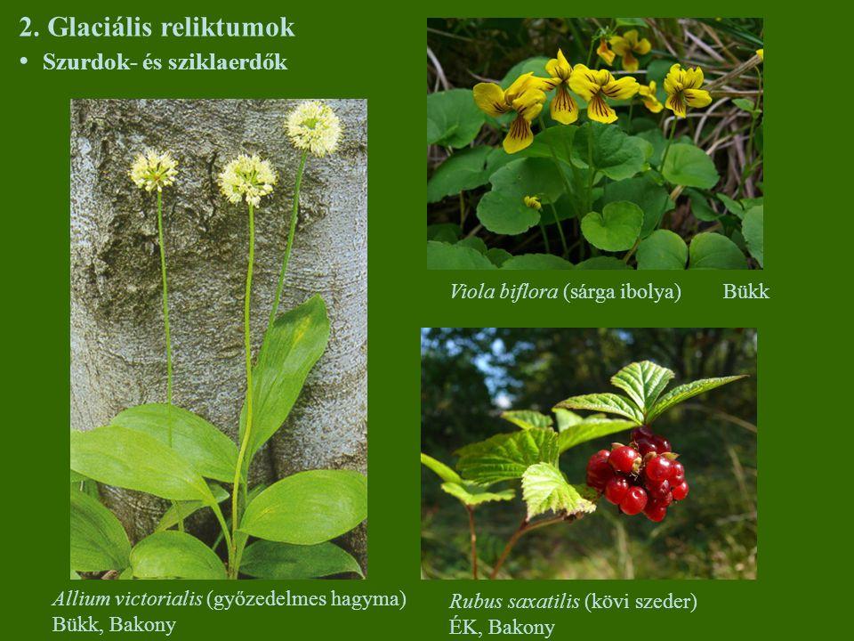 2. Glaciális reliktumok Szurdok- és sziklaerdők Allium victorialis (győzedelmes hagyma) Bükk, Bakony Viola biflora (sárga ibolya) Bükk Rubus saxatilis
